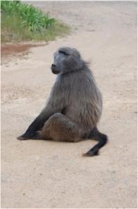 Babouin africain (Le Cap)